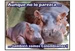 3 hippos